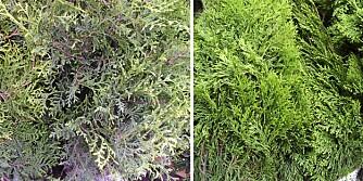 VELGER FEIL THUJA: Bildet til venstre viser tujasorten Brabant og bildet til høyre viser tujasorten Smaragd. Sistnevnte anbefales av hageeksperter, men er også den dyreste.