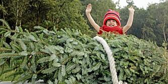 JULETREKJØP: - Det beste juletreet er det som vekker følelsene, sier ekspert.