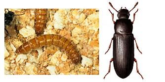 LARVE OG BILLE: Har du oppdaget larver eller biller i frokostblandingen din? Da må du fjerne eller fryse maten din og støvsuge skapet.
