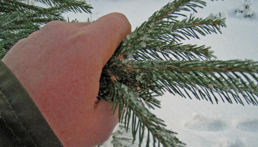 KJØPE JULETRE: Ved å dra hånden over barnålene, kan man sjekke om treet har god kvalitet. Faller det friske barnåler av, er ikke treet godt nok.