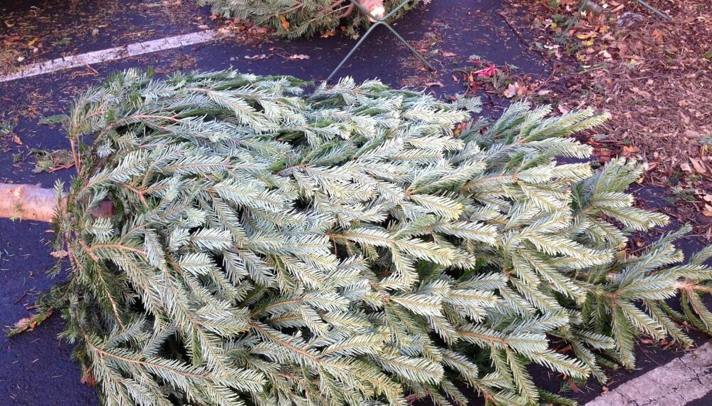 DU GRØNNE GLITRENDE: Vet du hva du skal se etter når du kjøper juletre? Her får du tipsene FOTO: Trine Jensen