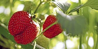 Jordbær trendy i hagen