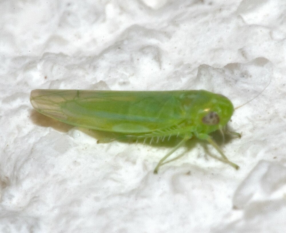 PLANTESUGERE: Er en gruppe av insekter, som har det til felles at de lever av å suge ut væske (plantesaft) fra planter. De har en typisk kroppslengde på 0,5-38 mm.