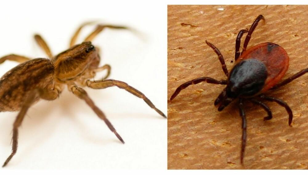EDDERKOPPER OG MIDD: Små edderkopper og midd er eksempler på krypene som lever i juletreet.