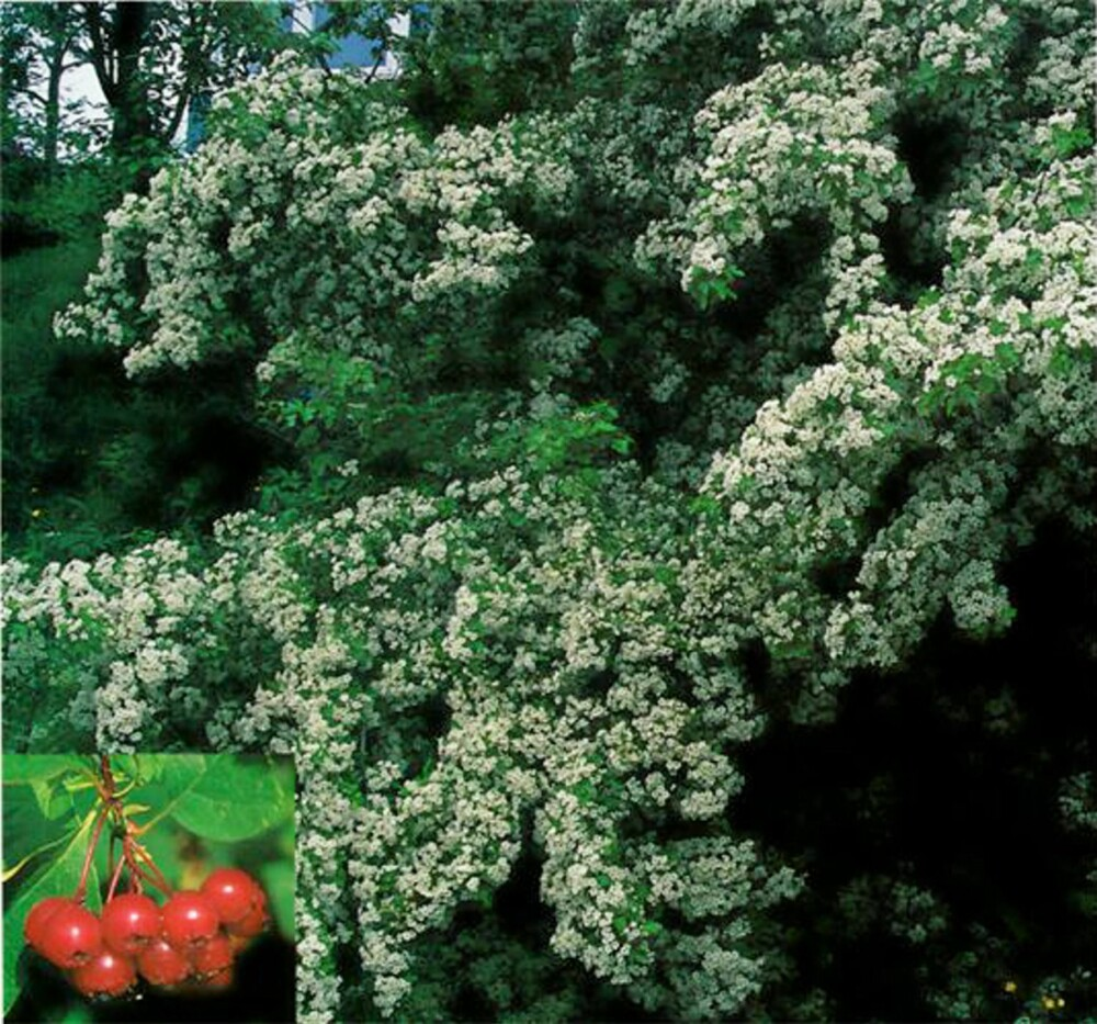 FRODIG: Amerikahagtorn får hvite blomster og røde bær