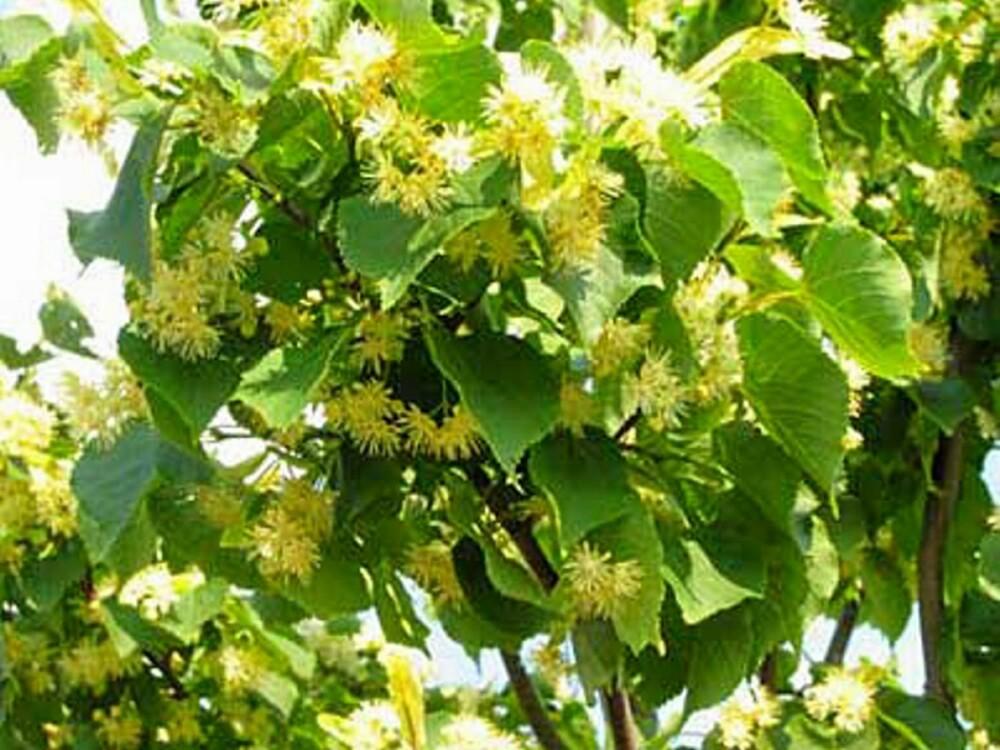 VAKKER OM VÅREN: Lind har en vakker grønnfarge om våren.