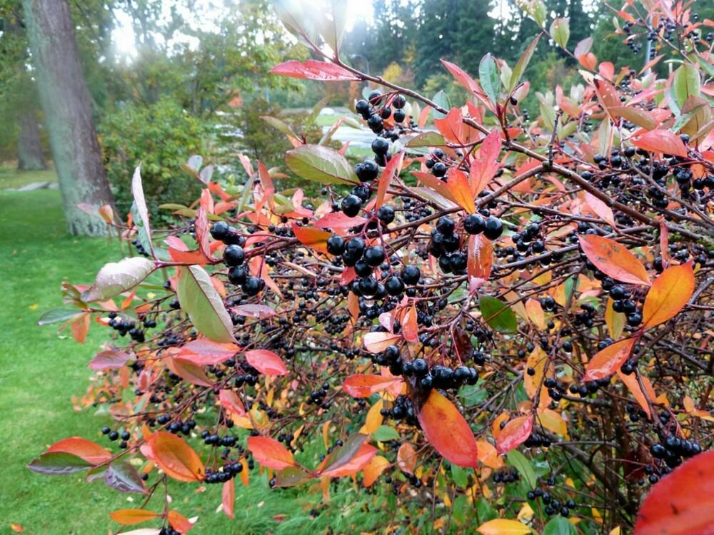 MED BÆR: Svartsurbær får fine, svarte bær.