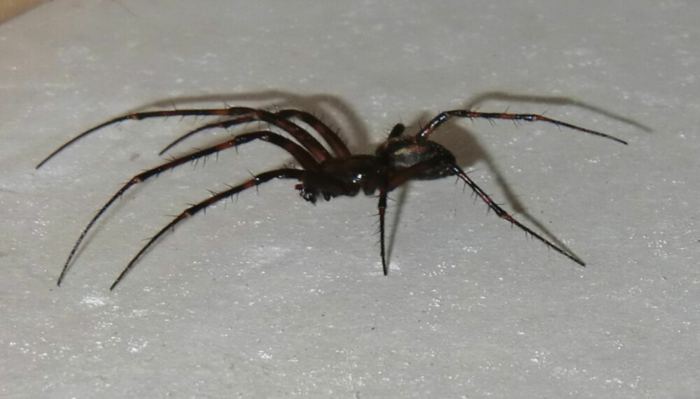 BLI KVITT EDDERKOPPENE: Stor husedderkopp er en av Norges største edderkopper. Fra forben- til bakbenspiss kan den måle 8-10centimeter.