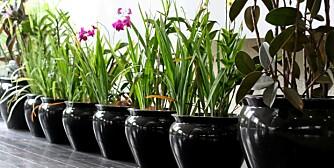 KRUKKEFINT:  Selvvanningskrukker er selvsagt det optimale. Men andre tips kan redde potteplantene.