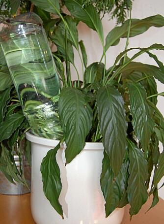 FERIEVANNING: En brusflaske opp/ned i blomsterpotta er alt du trenger av utstyr.