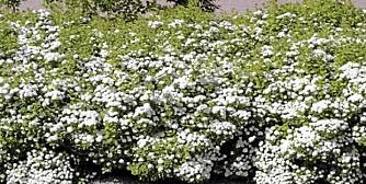 SPIREA: Bjørkebladspirea _Thor_ (Spirea Betufolia) vokser tett og blomstrer i juni og juli.