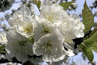 BLOMSTERFRYD. Det finnes vel neppe noe vakrere enn et vårblomstrende kirsebærtre.