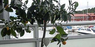 BALKONGTRE. Appelsintreet ble tatt inn i vinter, nå er det på plass igjen i krukke på balkongen.