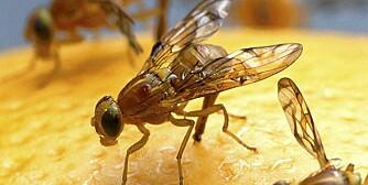GULBRUNE: Bananfluer eller fruktfluer er små til å være fluer, bare 2 til 4 milimeter lange. De er gulbrune med røde øyne og lever av gjærende emner.