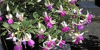 TAS INN: Fuksiaen er blant flere sommerblomster som bør tas inn nå når de første frostnettene nærmer seg.