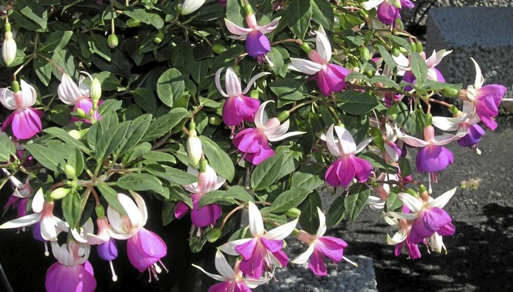 PLANTER SOM IKKE TÅLER FROST: Fuksiaen er blant flere sommerblomster som bør tas inn nå når de første frostnettene nærmer seg.