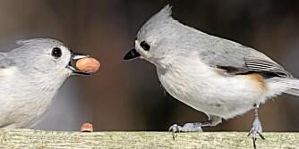 KOSELIG: Fugler som gråduskmeisen er flotte og morsomme å se på, men fugleloppene kan vi fint unnvære.