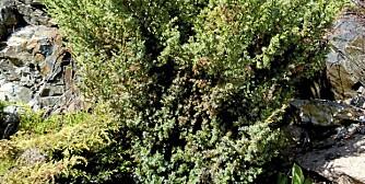 BRUNE GRENER: Mange vintergrønne busker har fått et tøff start etter en bråkald vinter.