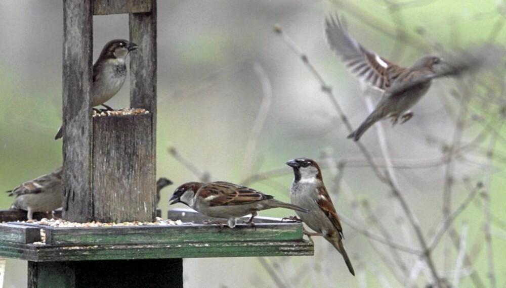 VINTERFUGLER: Småfuglene sitter ikke og sulter ved et tomt matfat. De flyr bare videre til neste fuglebrett.