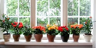 BLOMSTRENDE PLANTER: Planter behandles forskjellig, og tipsene får du av våre eksperter.