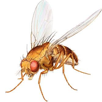 BANANFLUE: Slik ser en fruktflue, eller bananflue, ut. Den heter egentlig Drosophila funebris.