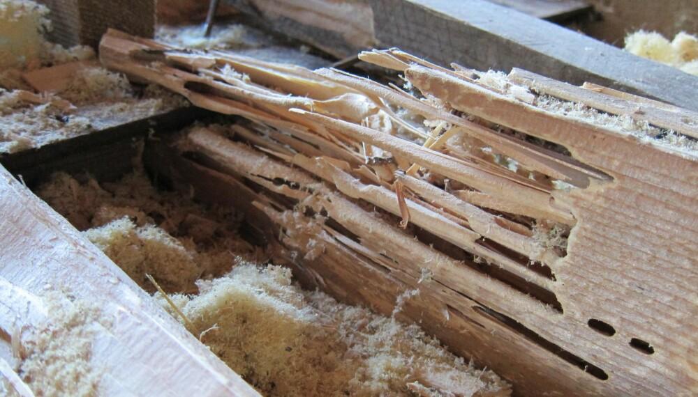SPISER OPP HUSET DITT: Stokkmaur kan gjøre stor skade på treverket.