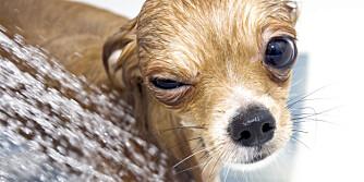 DUSJ HUNDEN: Pollen kan feste seg i plesen på katter og hunder. Dusjer du dem etter tur kan det hjelpe mot pollenplager.
