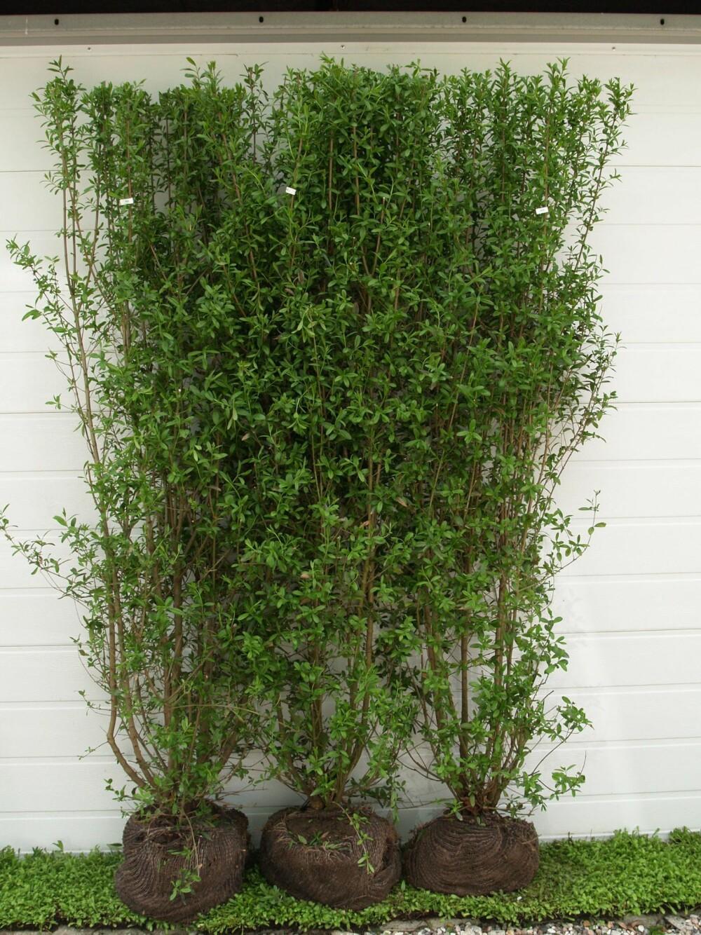 LIGUSTER: Ligustrum v. liga er den mest vinterhardføre av lisgusterplantene.