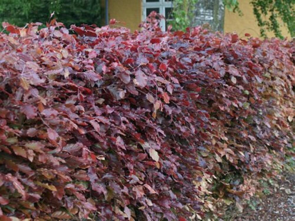 BLODBØK: Denne ferdighekken kommer med et bladverk i rødbrune og rødfiolette toner.