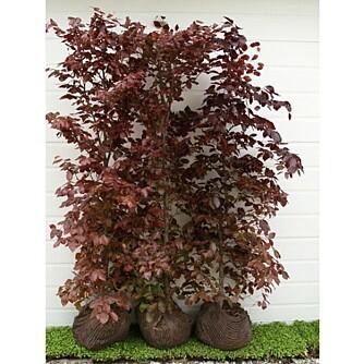 BLODBØK I BAG: Slik kjøper du hekkeplanten. Den er fullvokst og klar til planting.