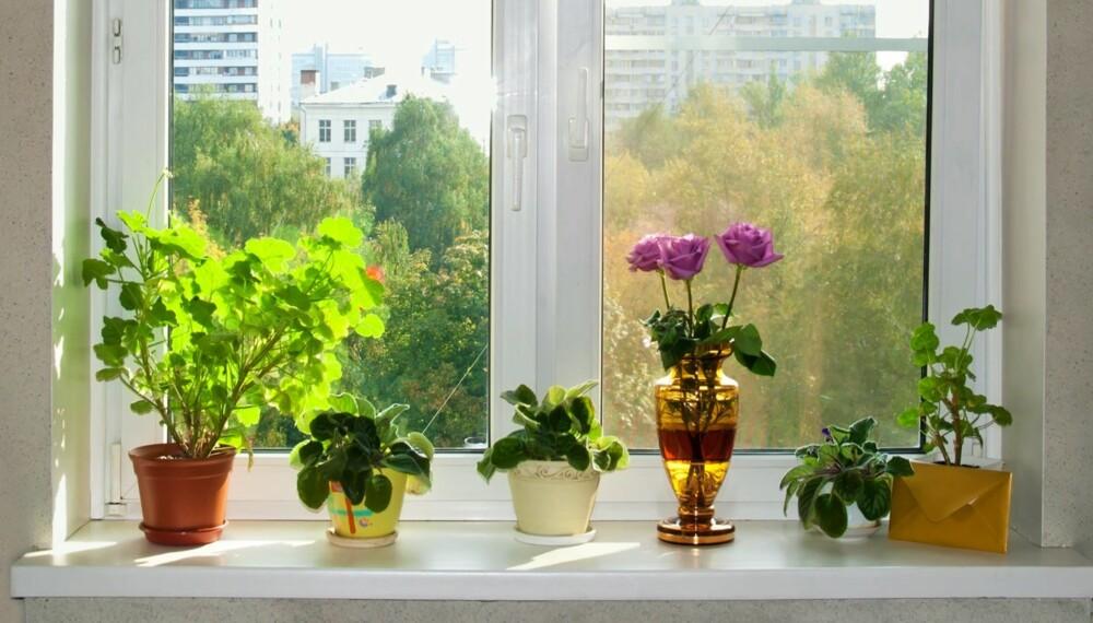 GODT UTGANGSPUNKT: Potteplanter i potte med skål plassert i vinduskarmen er et godt utgangspunkt for å lykkes.