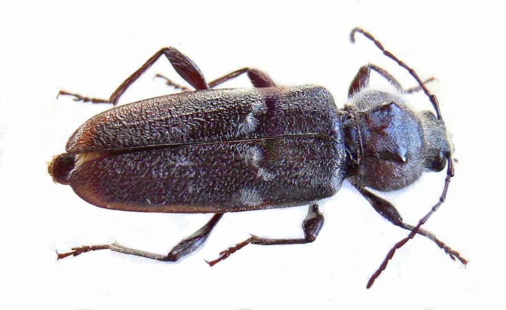 HUSBUKK: Denne er svært variabel i størrelse, fra 7 til 21 mm lange. Hunnene er jevnt over større enn hannene. Husbukken er mørkbrun til svart, kroppsformen er noe flat og antennene maksimalt halvparten så lange som kroppen. Hodet er rundet og mye bredere enn det er langt. Overflaten er læraktig. Hos hunnen stikker et langt eggleggingsrør ut bak dekkvingene. Lårene er ganske tykke, ellers er beina slanke.