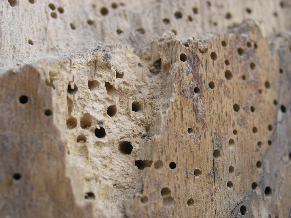 LAGER HULL: Treverk som er angrepet av stripet borebille har sirkelrunde hull på overflaten. Hullene er 1 til 2 mm brede, og de er flygehull der den voksne billen har tatt seg ut. Larvene forpupper seg i treverket rett under flygehullene. Inne i treverket vil det være ganger langsmed og på tvers av årringene. Gangene er runde i tverrsnitt og ikke bredere enn 2 mm. I gangene er det mye lyst boremel. Dette kan også drysse ut av flygehullene. Rundt hullene til de stripete borebillene er det ofte andre og mye mindre hull. Disse stammer fra en snylteveps som lever av borebillens larver. Stripet borebille angriper friskt trevirke, men krever at den relative luftfuktigheten er over 60–65 %. Larvene har optimale forhold hvis den relative luftfuktigheten konstant er over 85–90 %. Under slike forhold kan de forårsake vesentlige skader.