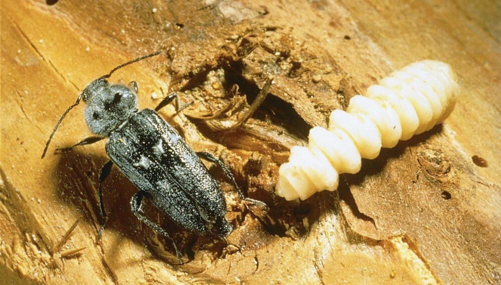 Larvene til husbukkene utvikler seg i tørr ved av bartrær, særlig i hus- og konstruksjonstømmer.