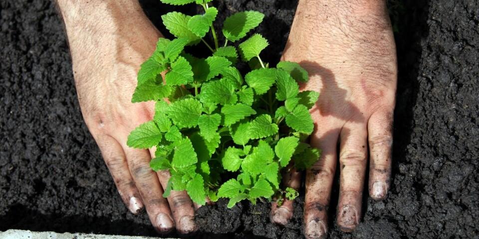 DYRKE SELV: Med rikelig med sol, vann og le for vinden vil du kunne dyrke egne krydderurter på balkongen eller i hagen i sommer.