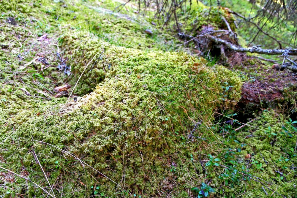 SOM MYKE TEPPER: Etasjemose er alminnelig i hele landet. Den danner tepper på bakken og over stokker og stein, og er særlig utbredt i blåbærrike barskoger.