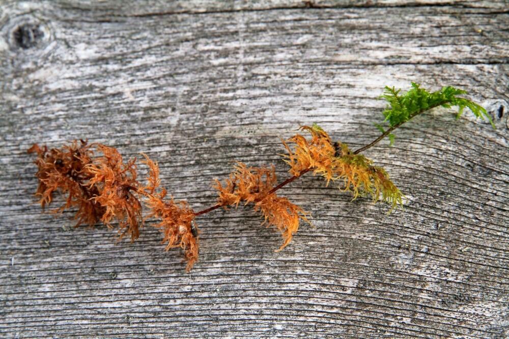 VOKSER OPPOVER: Etasjemosen vokser trinnvis oppover med fjærlignende skudd på hvert trinn. Vi kan lese av alderen på antall etasjer. Den blir rundt 10–20 cm lang og er grønn, gul, rød eller brun. Etasjemosen tåler skygge, men er mer ømfintlig for sollys. Den er lett å plukke i hele lag, men kan inneholde barnåler, insekter og kvist. Den må derfor renses før bruk. Jo lengre mosestilkene er, desto bedre er det.
