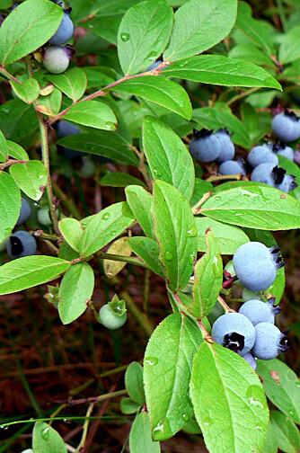 """VANSkELIG: Ameriakanske blåbær kan være vankelig å få til fordi de krever mer. Foto: <a href=""""http://www.flickr.com/photos/the_girl/26994859/"""">the_girl</a> på Flicker.com. Noen <a href=""""http://creativecommons.org/licenses/by/2.0/deed.en_GB"""">rettigheter</a> reservert."""