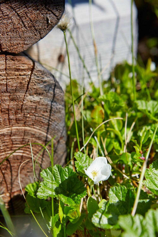Mye multer: Bokstavelig talt rett utenfor hytteveggen blomstrer multene.