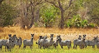 JUNGELFEBER: På BeHo BeHo er soverommet ditt åpent ut mot Afrikas jungel.