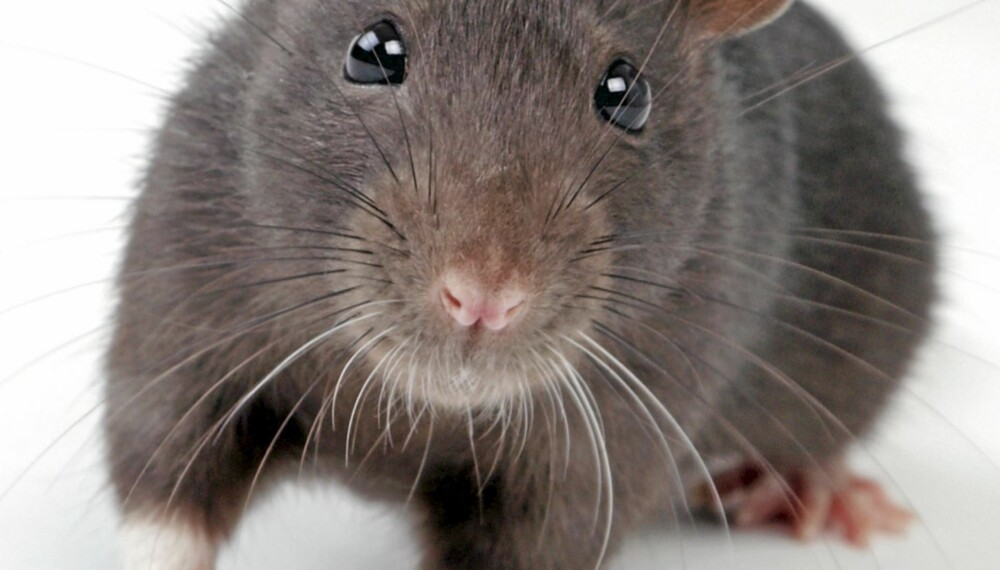 ROTTEBESØK: Både mus og rotter trekker innendørs når det begynner å bli kaldere ute. De er ikke alltid lette å oppdage, men mel langs veggene kan avslørene sporene etter dem.