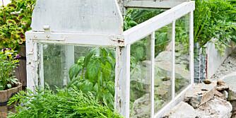 BYGGE DRIVHUS: Et minidrivhus gjør det mulig å dyrke planter som egentlig ikke er beregnet for den norske sommeren. Om natten kan man lukke kulda ute, mens man på dagen må huske på å lufte slik at det ikke blir for varmt for plantene.