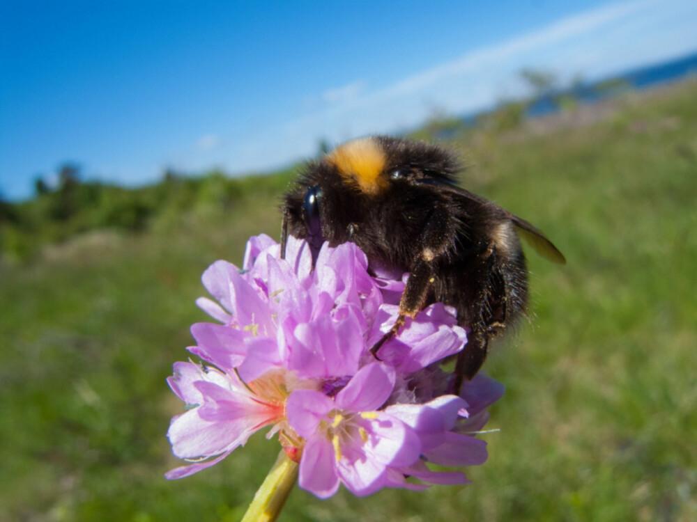 SJEFSBEFRUKTEREN: Humlen er ett av de viktigste insektene i hagen. Den står for mye av pollineringen av både blomster, frukttrær og bærbusker. (FOTO: La humla suse)