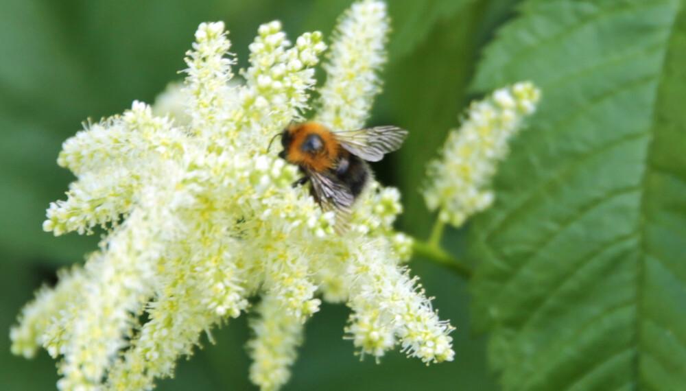 NYTTEINSEKT: Humlen er den blant insektene som sannsynligvis er mest verdifull for hageeier, og særlig de som har frukttrær og bærbusker i hagen. (FOTO: Alexander Berg jr.)
