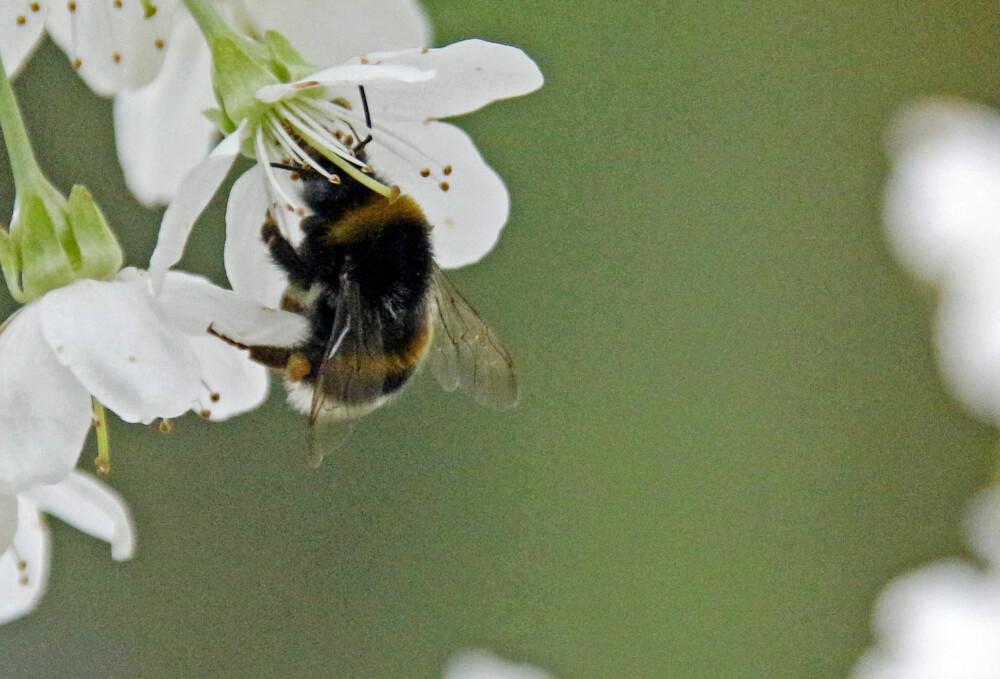 NEKTARELSKER: Blomster som inneholder mye nektar er magneter på humlen. (FOTO: Alexander Berg jr.)