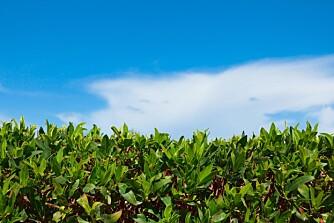 VALGETS KVAL: Det er mange hensyn å ta når du skal velge hekk til hagen. FOTO: Colourbox