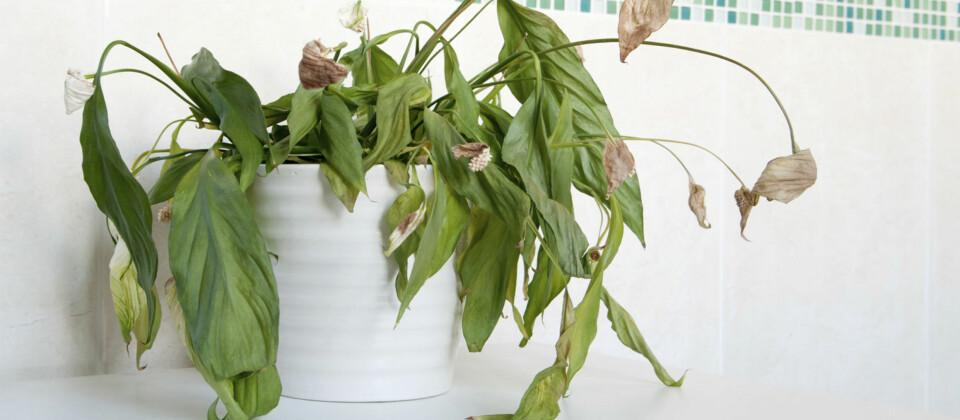 TØRRE PLANTER: Etter blant annet ferier kan du komme hjem til forsømte husplanter som denne. Men, denne planten er også et eksempel på en plante som fint kan sette nye skudd etter hvert, og som på ingen måte er død.