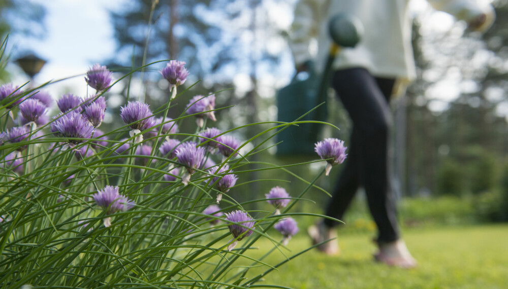 HUSK NOK VANN: Ikke dra på ferie uten å vanne hagen først.