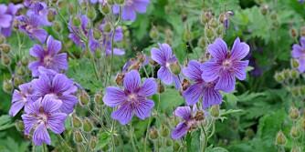 STORKENEBB:  Kan ha blomster i hvitt, lyserosa, mørkerosa og lilla. De danner tette tuer, og kan være helt lave eller over en meter.