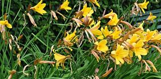 DAGLILJE: Som navnet sier ligner blomstene grasiøse liljer og denne stauden kan ha mange forskjellige flotte farger.